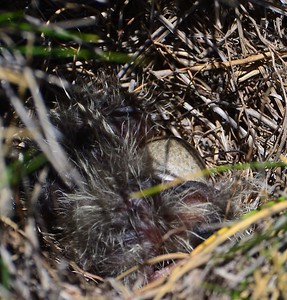 Nest with chicks and egg