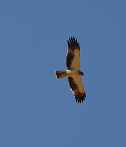 Booted Eagle (pale form)