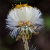 Coltsfoot (Tussilago farfara) seedhead