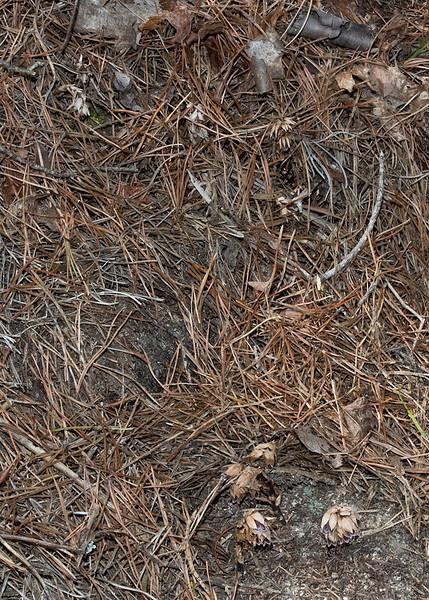 Sweet Pinesap (Monotropsis odorata) habitat<br /> Conasauga Falls, TN