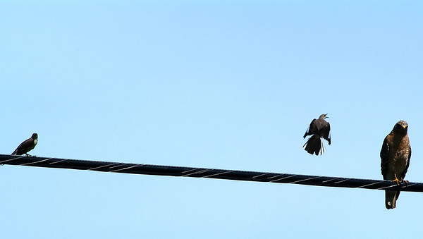 I wonder what that Mockingbird is trying to tell the hawk?