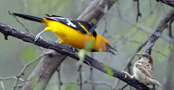 Altamira Oriole scolding a House Sparrow