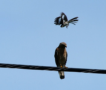 I don't think the hawk could track the whereabouts of all the mockingbirds buzzing him.