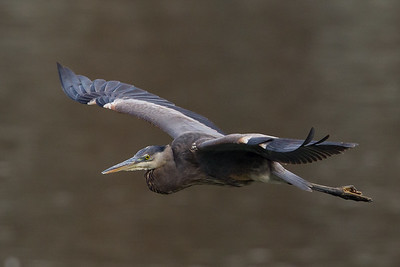 Great Blue Heron in Flight, Conowingo Dam