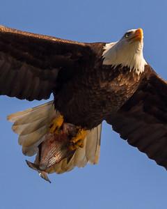 Bald Eagle in Flight, Conowingo Dam