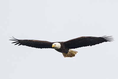Bald Eagle in Flight, Conowingo Dam