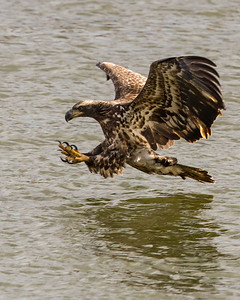 Immature Bald Eagle in Flight, Conowingo Dam