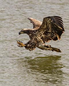 Immature Bald Eagle in Flight, Conowingo Dam