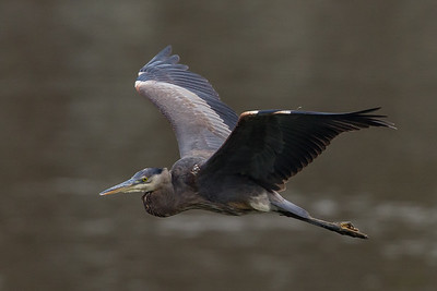 Great Blue Heron in Flight, Conowingo Dam