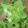 garlic mustard - invasive