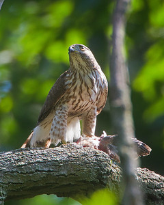 Coopers Hawk nest-Allendale,NJ. 7/2012