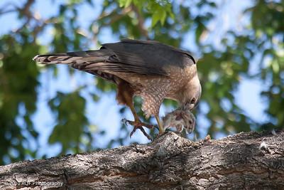 Hawk-7685