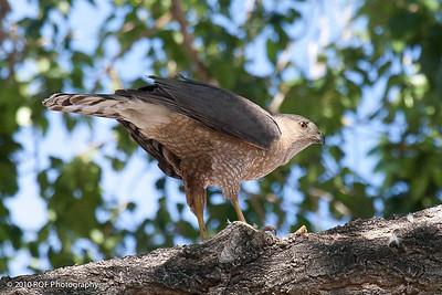 Hawk-7667