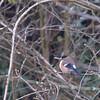 Femal Bullfinch at Mill Pond