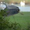 Grey heron - 3rd shot - he'd had enough!