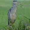 Grey Heron - 2nd shot