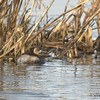 Dabchick Copy, 50% sharpen, cropped in