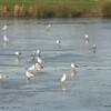 Black Headed Gulls on Frozen Swan Lake