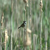 Male Reed Bunting (original)