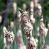 (Blurry) Blue Tit on Reed