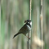 Male Reed Bunting (cropped)
