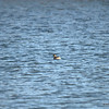 Little Grebe - aka Dabchick - very common bird, usually occur in pairs