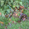 Blackbird (female) foraging in the leaves.