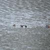 Shoveler duck pairs in Blue Lagoon