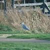 Grey Heron with big fish no 1