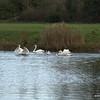 Swan Skirmish