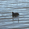 Coot - note the white face and red eye