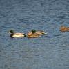 2 mallard pairs - very common ducks