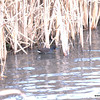 Moorhen skulking in the rushes, note browner colour and red and yellow bill