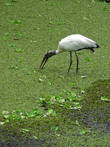 Corkscrew Swamp is home to one of the largest Wood stork nesting colonies in North America.
