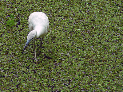 "Immature Little blue heron looks for food in ""lettuce lake""."