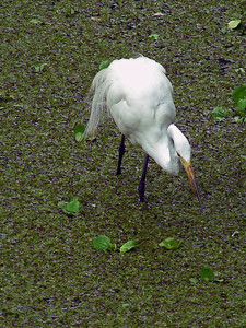 "Great egret feeding in a ""lettuce lake"". Plume hunters in the early 1900's almost caused total eradication of several bird species."