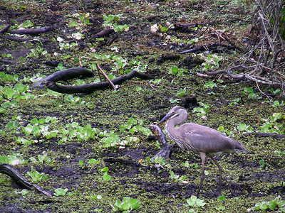 Great blue heron spears a fish.