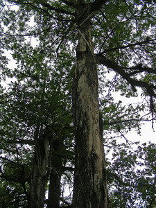 Photos do not do the 135 foot tall bald cypress trees justice. Some were here before Columbus arrived in the New World.