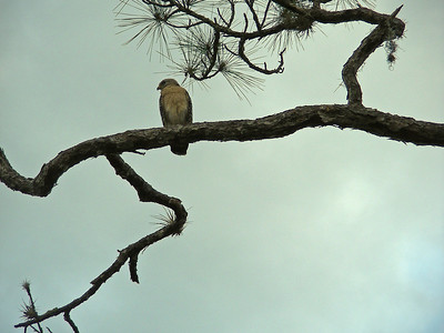 Red-shouldered hawk keeps an eye on the parking area.