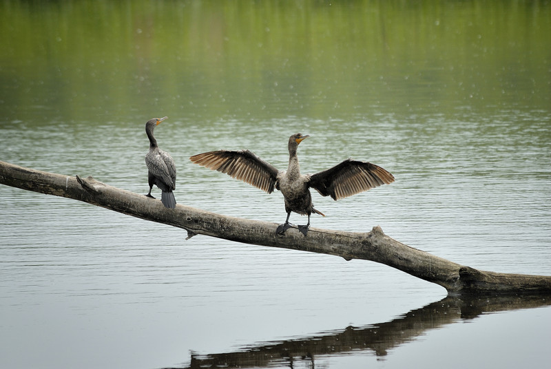Cormorants (3)