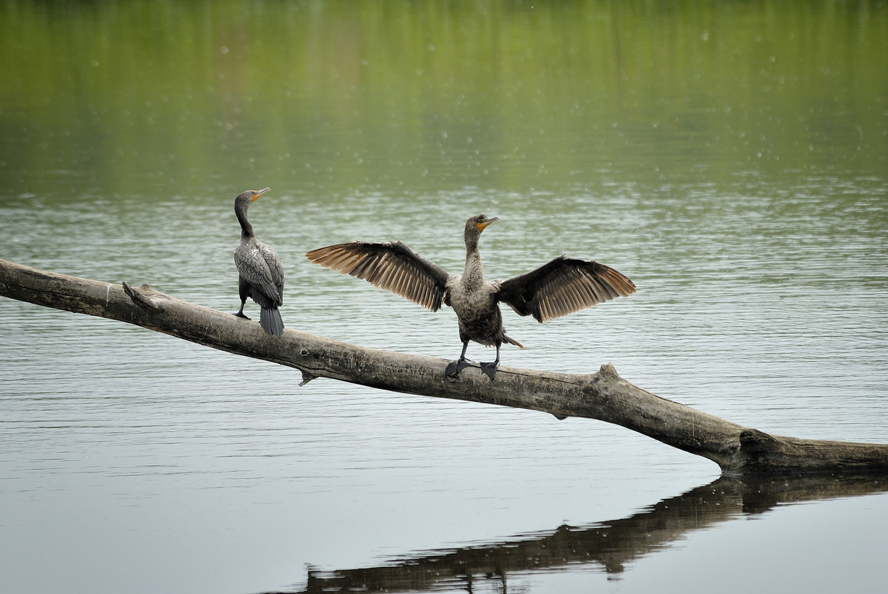 Cormorants (3)