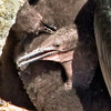 Cormorant Chick