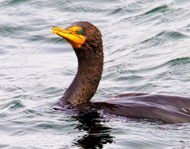 Cormorant, Bodega Bay, CA