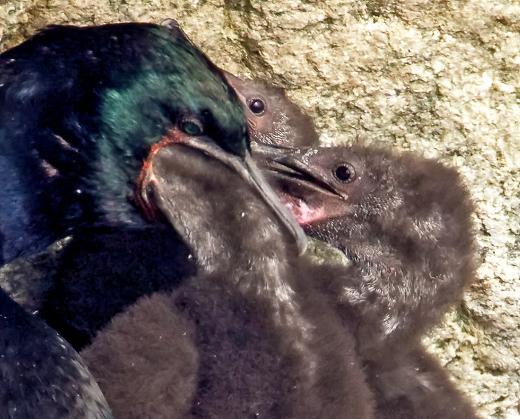 Cormorant Feeding Chicks