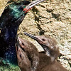 Cormorant Chicks