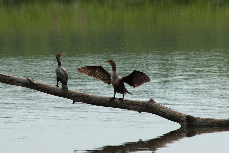 Cormorants (4)