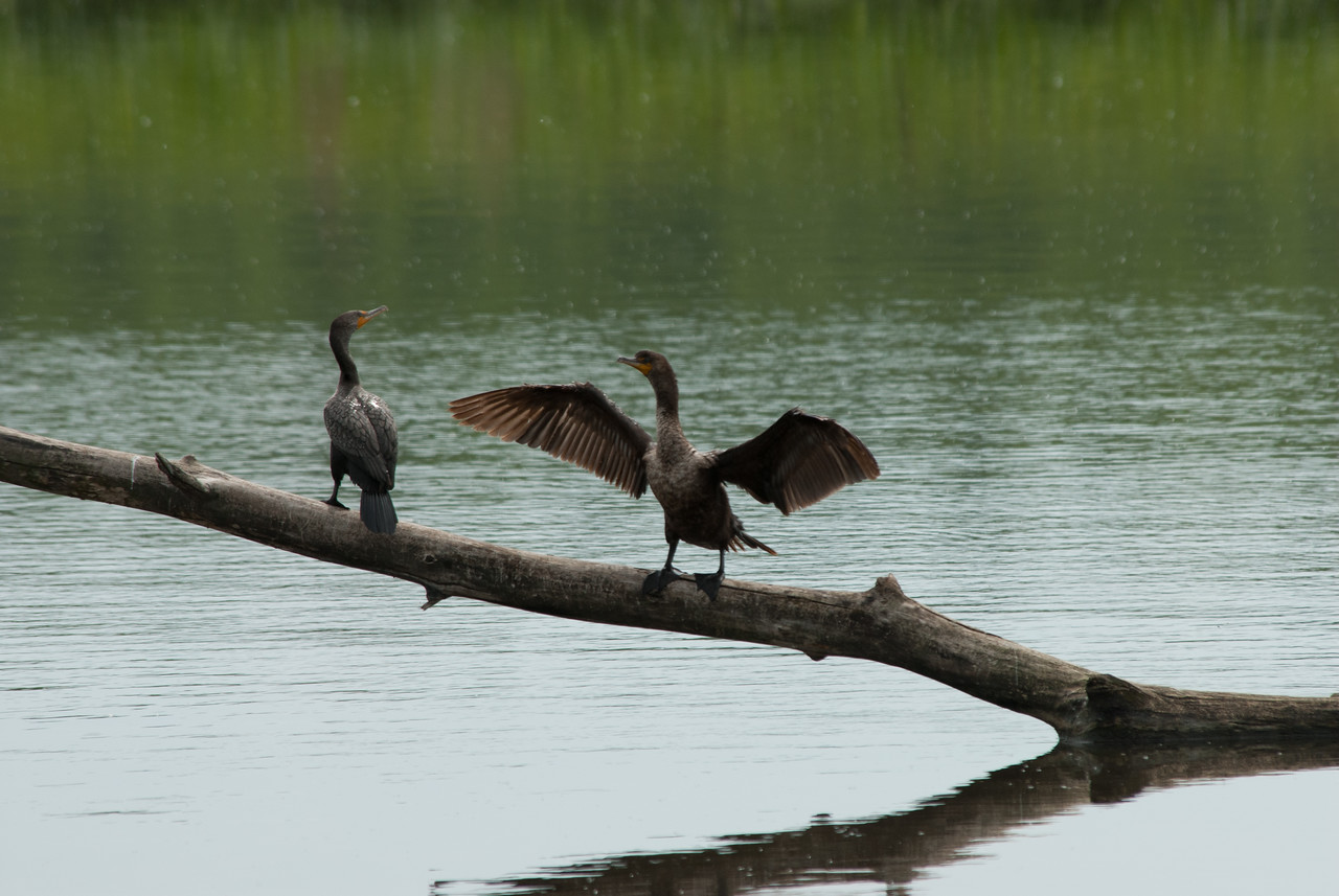 Cormorants (4)