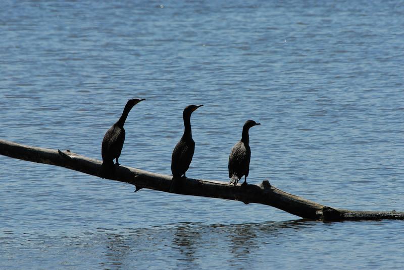 Cormorants (1)