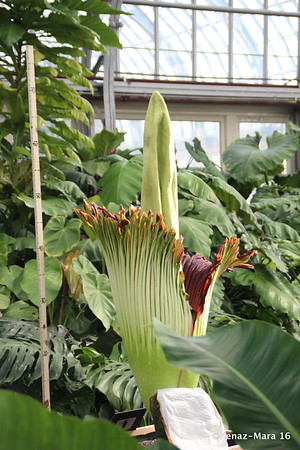 Corpse Flower Persephone Blooming at Garfield Park Conservatory