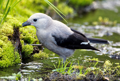 Clark's Nutcracker foraging in the moss at Paradise, Mt. Rainier National Park in Washington.